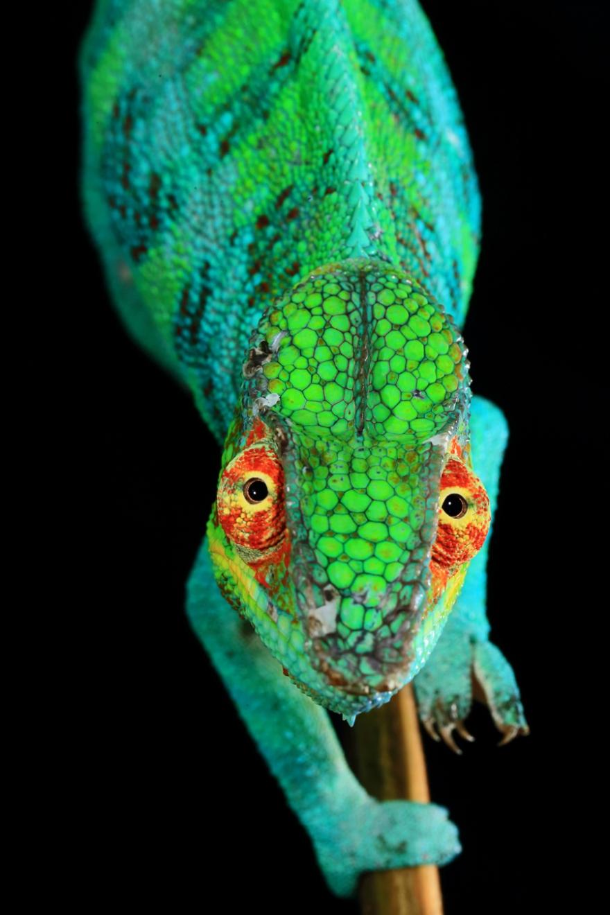 Nature, 3e prix – Histoires (photo 3) Christian Ziegler, Allemagne, pour le National Geographic Caméléon sous pression Un mâle dominant, d'un rare turquoise pour un caméléon panthère, affiche ses couleurs.