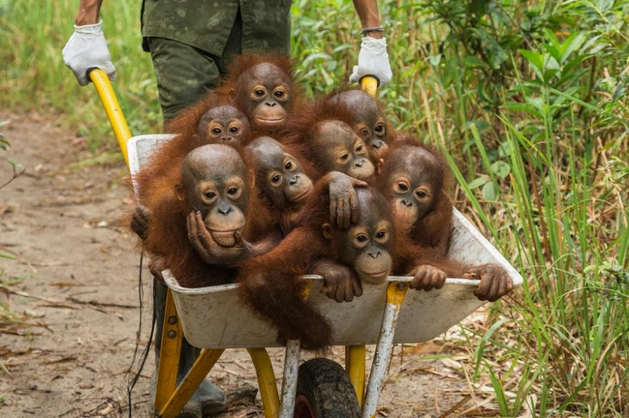Nature, 1er prix – Histoires (photo 3) Tim Laman, É.-U. Temps difficiles pour les orangs-outangs Orphelins, des bébés orangs-outangs sont en promenade depuis leurs cages de nuit jusqu'à une parcelle de forêt où ils pourront jouer durant la journée, dans une aire aménagée par la International Animal Rescue, à Ketapang (Indonésie).
